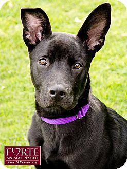 Labrador Retriever/Belgian Shepherd Mix Dog for adoption in Marina del Rey, California - Chappi