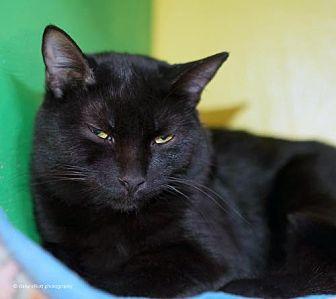 Domestic Shorthair Cat for adoption in Tucson, Arizona - Tobago