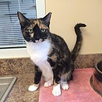 Domestic Shorthair Kitten for adoption in Pompano Beach, Florida - Kitty Purrs