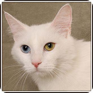 Exotic Cat for adoption in Glendale, Arizona - Midna