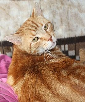 Domestic Shorthair Cat for adoption in Lambertville, New Jersey - Teddy
