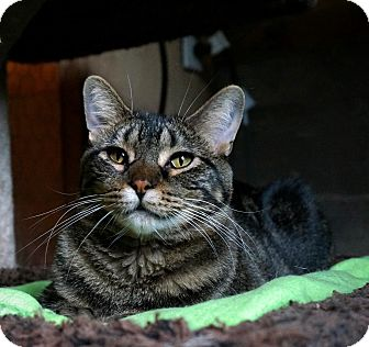Domestic Shorthair Cat for adoption in Manitowoc, Wisconsin - Gabby