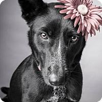 Adopt A Pet :: Queenie - Norman, OK