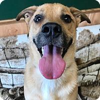 Akita Mix Dog for adoption in Maryville, Missouri - Chauncy