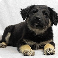 Adopt A Pet :: Raven - Westminster, CO