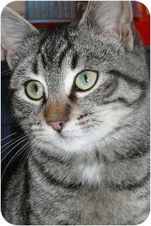 Domestic Shorthair Cat for adoption in Strathmore, Alberta - Chaplin