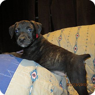 Retriever (Unknown Type)/Catahoula Leopard Dog Mix Puppy for adoption in Westminster, Colorado - Gooseberry