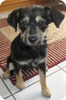Terrier (Unknown Type, Small) Mix Puppy for adoption in Salt Lake City, Utah - CODY