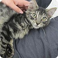 Adopt A Pet :: Tigress - Riverhead, NY