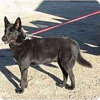 Adopt A Pet :: Peleng - Hamilton, MT