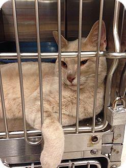 Domestic Shorthair Cat for adoption in Muncie, Indiana - Daniel