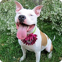 American Staffordshire Terrier Mix Dog for adoption in Dublin, Ohio - Ivy