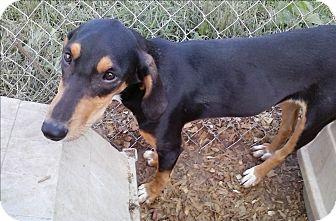 Hound (Unknown Type)/Labrador Retriever Mix Puppy for adoption in Staunton, Virginia - Michele