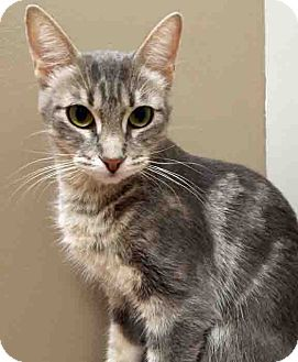 Domestic Shorthair Cat for adoption in Downers Grove, Illinois - Moved to Shorewood Agnes