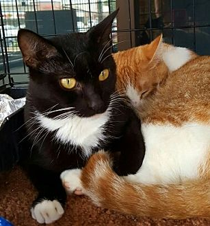American Shorthair Cat for adoption in Lyons, Illinois - Mandy