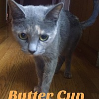 Adopt A Pet :: Buttercup - Harrison, NY