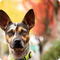 Adopt A Pet :: Little Larry - Portland, OR