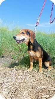 Basset Hound/Beagle Mix Dog for adoption in Albuquerque, New Mexico - Wilma