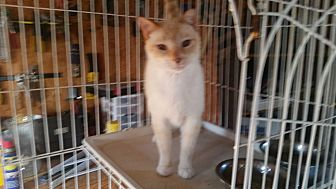 Siamese Cat for adoption in Bronson, Florida - Blue
