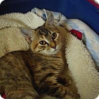 Adopt A Pet :: Timone - Bridgeton, MO