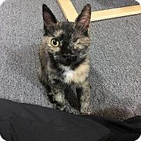 Adopt A Pet :: Amber - Toronto, ON
