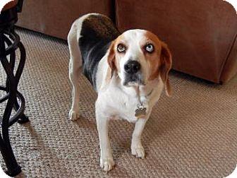 Beagle Mix Dog for adoption in Phoenix, Arizona - Casper