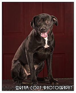Labrador Retriever Mix Dog for adoption in Owensboro, Kentucky - Tootsie DRD graduate