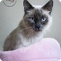 Adopt A Pet :: Lauren - Phoenix, AZ
