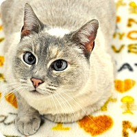 Siamese Cat for adoption in Great Falls, Montana - Aretha