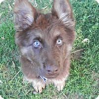 Adopt A Pet :: Zeus - Clarksville, TN