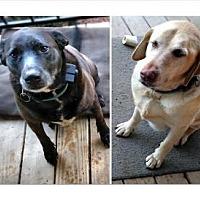 Labrador Retriever Dog for adoption in Asheville, North Carolina - Mollie and Zuni (Courtesy Post)