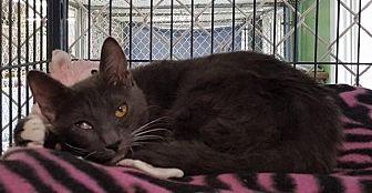 Domestic Shorthair Cat for adoption in Freeport, New York - Sally
