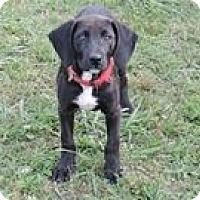 Labrador Retriever Mix Puppy for adoption in Cottonport, Louisiana - Dusty