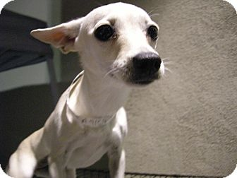 Chihuahua/Dachshund Mix Dog for adoption in Las Vegas, Nevada - Dolly