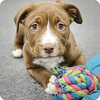 Adopt A Pet :: DREW - Nashville, TN