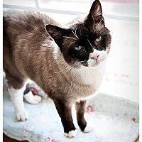 Snowshoe Cat for adoption in Middletown, New York - Teddy