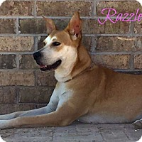 Adopt A Pet :: Razzle (fostered in TX) - Cranston, RI