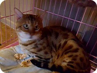 Bengal Cat for adoption in Tucson, Arizona - Wolverine