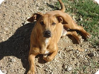 Jack Russell Terrier/Dachshund Mix Dog for adoption in Spartanburg, South Carolina - Coco of Lavonia