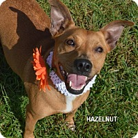 Adopt A Pet :: Hazelnut - Independence, MO