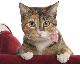 Domestic Shorthair Cat for adoption in Wayne, New Jersey - Penny
