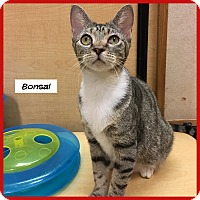 Adopt A Pet :: Bonsai - Miami, FL