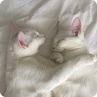 Adopt A Pet :: White Kittens (Zeke & Liam) - Houston, TX