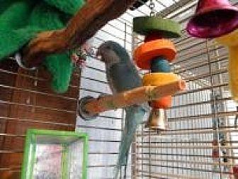 Parakeet - Quaker for adoption in Neenah, Wisconsin - Cheumani