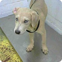 Adopt A Pet :: DIAMOND - Atlanta, GA