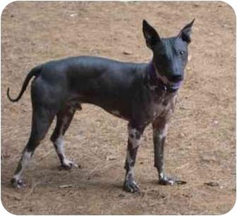 American Hairless Terrier Dog for adoption in Phoenix, Arizona - Logan
