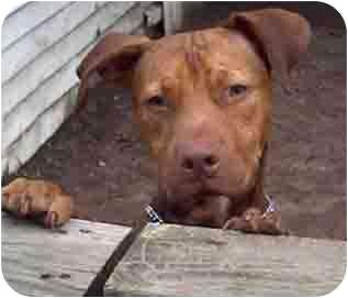 American Staffordshire Terrier/Labrador Retriever Mix Dog for adoption in Forest Hills, New York - Pumpkin