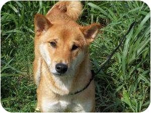 Shiba Inu/Basenji Mix Dog for adoption in Centennial, Colorado - Isamu