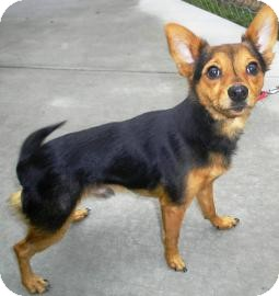 Irish Terrier/Manchester Terrier Mix Dog for adoption in Lincolnton, North Carolina - Peppe