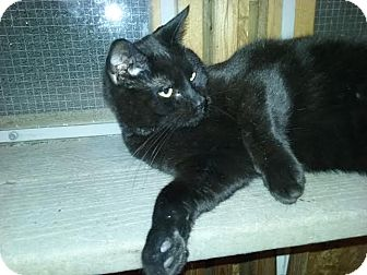Domestic Shorthair Cat for adoption in Delmont, Pennsylvania - Buster